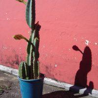Herbarium #001 – Mandacaru (Cereus jamacaru)