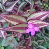 Herbarium #004 – Trapoeraba lambari (Tradescantia zebrina)