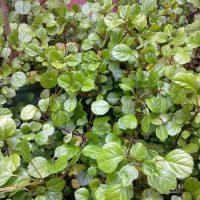 Herbarium #005 – Hera sueca (Plectranthus nummularius)